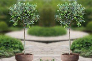 Bild von Winterharter Olivenbaum 90-100 cm