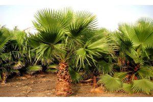 Produktbild von 1x oder 2x schnellwachsende Mexikanische Palme