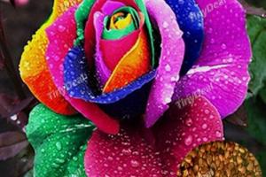 Bild von 10 bunte Rosen-Blumen-Pflanzen-Samen-Geschenk für Freunde