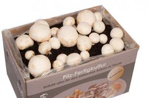 Bild von Hawlik Pilzbrut – das Orginal – weiße Champignon Pilz-Zuchtset – Kultur zum selber züchten – frische Pilze ernten nur 16,90€